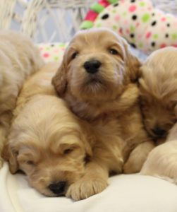 labradoodle puppy breeders Sherwood Salem Beaverton Tigard Oregon