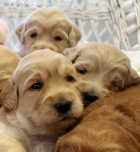 Oregon Washington labradoodle puppies