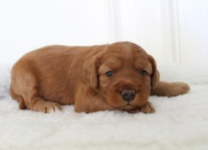 standard labradoodle puppies Oregon Washington