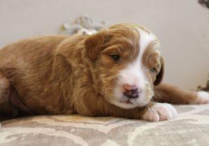 Oregon labradoodle puppy breeders