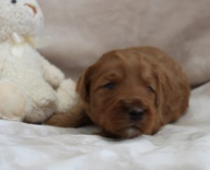 labradoodle puppies Seattle Vancouver Washington