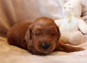 Oregon labradoodle puppies breeder