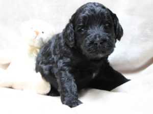 Seattle Portland Labradoodle breeders puppies