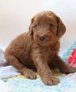 Oregon Washington labradoodle puppies for sale