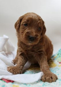 Oregon labradoodles puppies available now