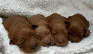 Oregon labradoodle breeders puppies