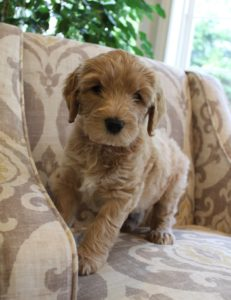 labradoodles Oregon Portland Seattle puppies now
