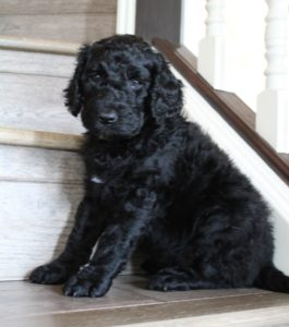 Oregon black labradoodle puppies