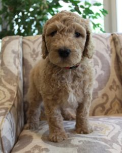 Washington Seattle Oregon labradoodle puppy breeders