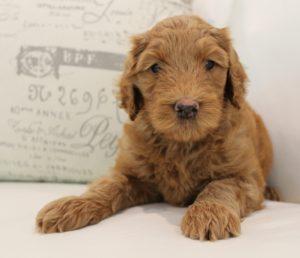 Oregon Australian Labradoodles puppies breeder