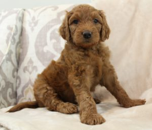 labradoodles therapy dogs