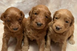 Australian labradoodle puppies Oregon