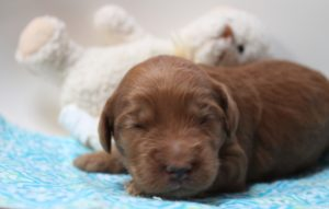 Austalian labradoodle puppies Salem Portland Sherwood Oregon