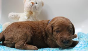 Oregon Australian labradoodle breeders puppies