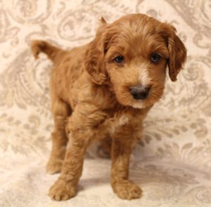 Australian labradoodle breeders Pacific Northwest Oregon