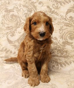 Oregon Labradoodle puppies labradoodles therapy puppies