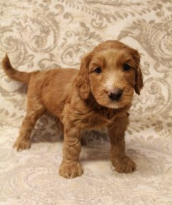Seattle Vancouver Washington labradoodles breeders