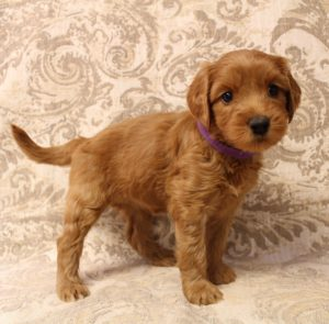 Oregon Seattle Washington labradoodle puppies