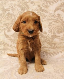Salem Oregon Portland therapy labradoodles puppies