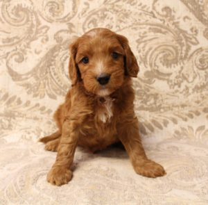 best labradoodle breeders Pacific Northwest Oregon