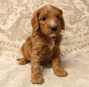 Bio sensor breeders Puppy Culture labradoodles
