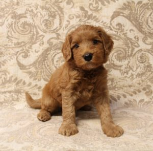 Oregon labradoodles Biosensor puppies