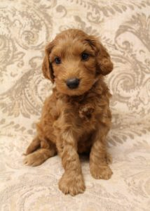 Oregon top labradoodle breeders puppies