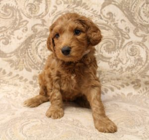 Oregon best Australian Labradoodle breeders