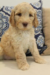 Seattle Vancouver Washington labradoodle breeders