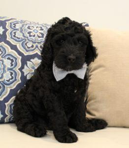 Best labradoodle puppy breeder Washington Oregon