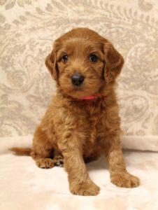 Oregon labradoodle guardian program puppies