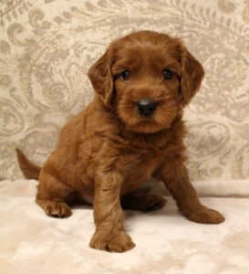 Oregon labradoodle guardian puppies available