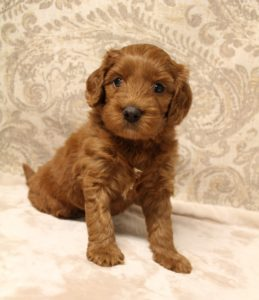 Oregon labradoodle breeders guardian puppies available