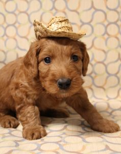 Best Oregon Australian Labradoodles puppies