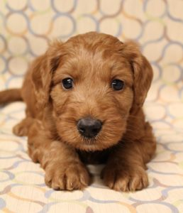 Best labradoodle puppy breeder Oregon Washington