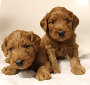 Washington best labradoodle breeders