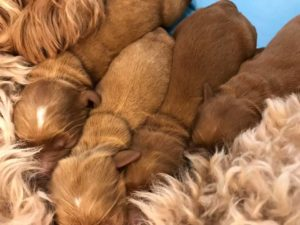 Oregon labradoodle puppy breeders