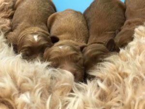 Portland Oregon labradoodle puppies available now
