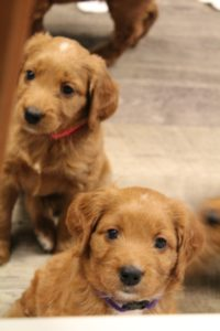 Puppy Culture Labradoodle breeders