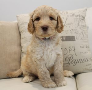 standard labradoodle puppies Oregon Portland Vancouver Seattle