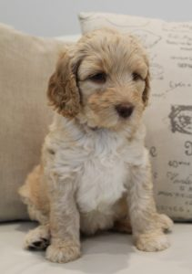 Portland Oregon Salem Sherwood standard labradoodles puppies breeders now