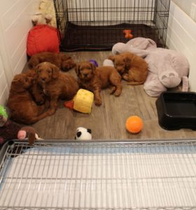 Washington and Oregon labradoodle breeders best puppies