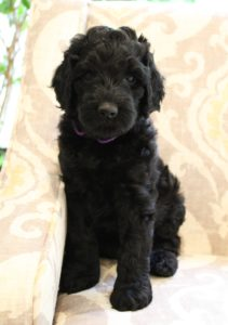 Sherwood Oregon labradoodles puppies Puppy Culture