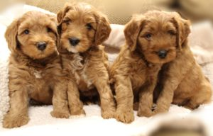 labradoodles Oregon Washington Vancouver