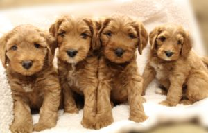 Valley Vineyard Labradoodles puppies available now
