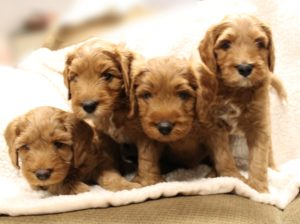 Washington Australian labradoodle puppies standard available now