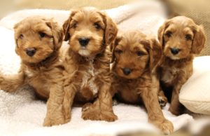 Oregon labradoodle breeders standard size puppies