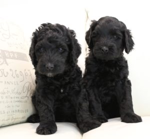 black cream standard labradoodles summer puppies Oregon