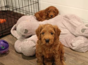 Australian Labradoodle therapy dogs puppies Oregon