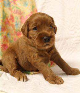 Oregon Australian Labradoodles best breeder